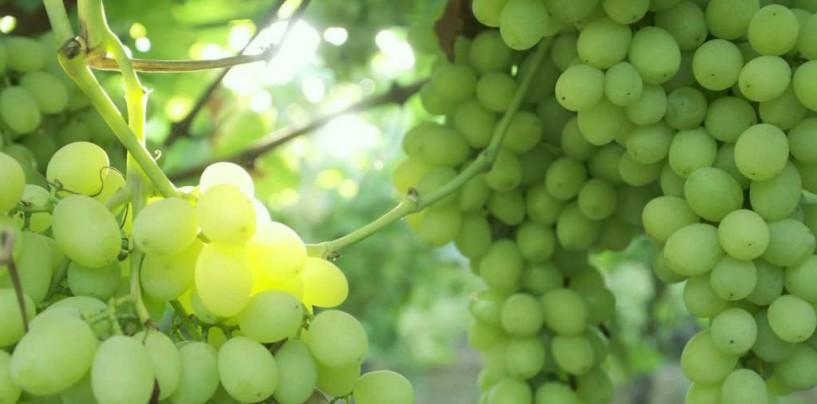 В Израиле планируют выращивать виноград даже зимой