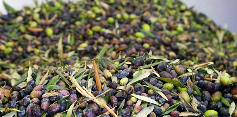 Сезон сбора оливок в Израиле